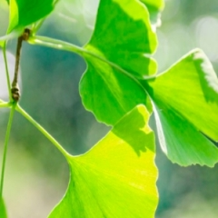 Ginkgo biloba - Cuidados pela Vida